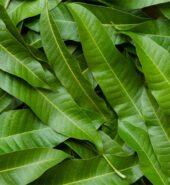 Mango Leaves 1 bag( 10 to 15 leaves)